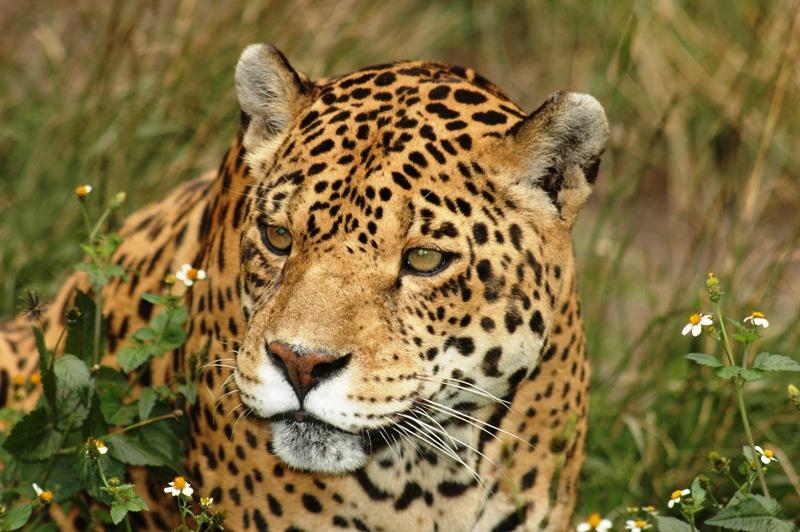Jaguar in Banos Zoo. Zoologico de Banos